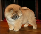 chow chow hermosos